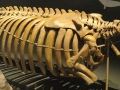 800px-hydrodamalis_gigas_skeleton_-_finnish_museum_of_natural_history_-_dsc04529