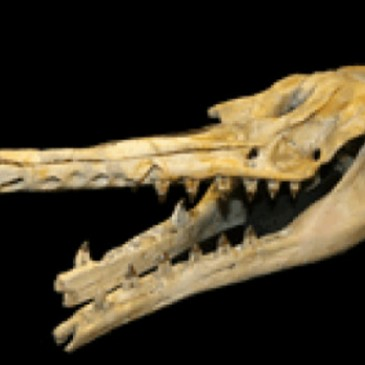 New fossil species: Origin of toothed whale echolocation