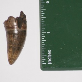 LARGE Pleistocene epoch, Fossilized Alligator Tooth
