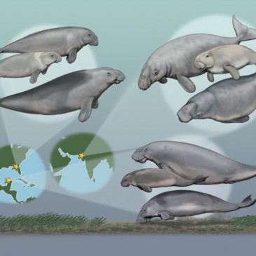 Multispecies Communities of Seacows